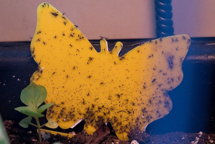 Yellow sticky trap with multiple fungus gnats.